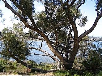Eucalyptus gomphocephala - Tuart in Kings Park