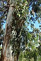 Eucalyptus rubida kz2.jpg
