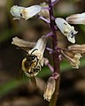 Eucera on Bellevalia 1.jpg
