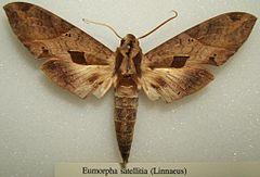 240px eumorpha satellitia sjh