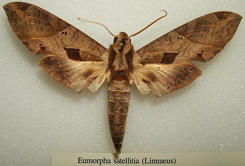 500px eumorpha satellitia sjh