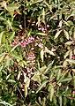Euonymus europaeus - Fruit - geograph.org.uk - 569287.jpg