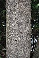 Euonymus lucidus kz01.jpg