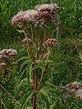 Eupatorium cannabinum jfg.jpg