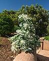Euphorbia marginata Generalife Granada Spain.jpg