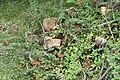 Euphorbia milii 33zz.jpg