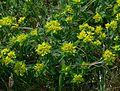 Euphorbia verrucosa IP0704089.jpg