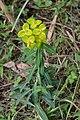 Euphorbia wallichii nepal.jpg
