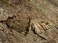 Eupithecia pusillata - Juniper pug - Цветочная пяденица еловая (27079055568).jpg