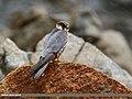 Eurasian Hobby (Falco subbuteo) (34545140060).jpg