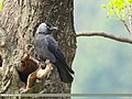 Eurasian Jackdaw (Corvus monedula) (43045251032).jpg