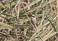 Eurasian Penduline Tit - Remiz pendulinus 01.jpg
