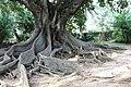 Exemplar de árvore-da-borracha, Jardim António Borges.jpg