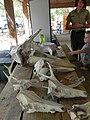 FL Skulls display at Smokey Bear Day (5707142245) (2).jpg