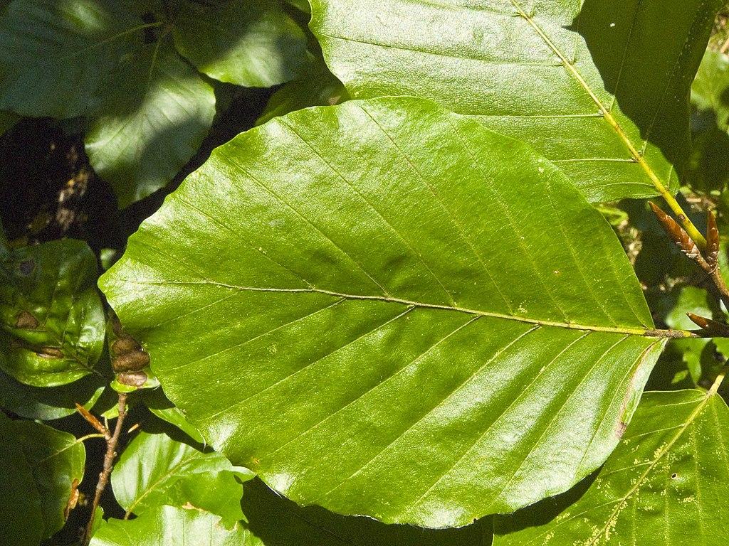 file fagus sylvatica leaf wikimedia commons. Black Bedroom Furniture Sets. Home Design Ideas