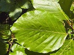 Fagus sylvatica leaf 001.jpg