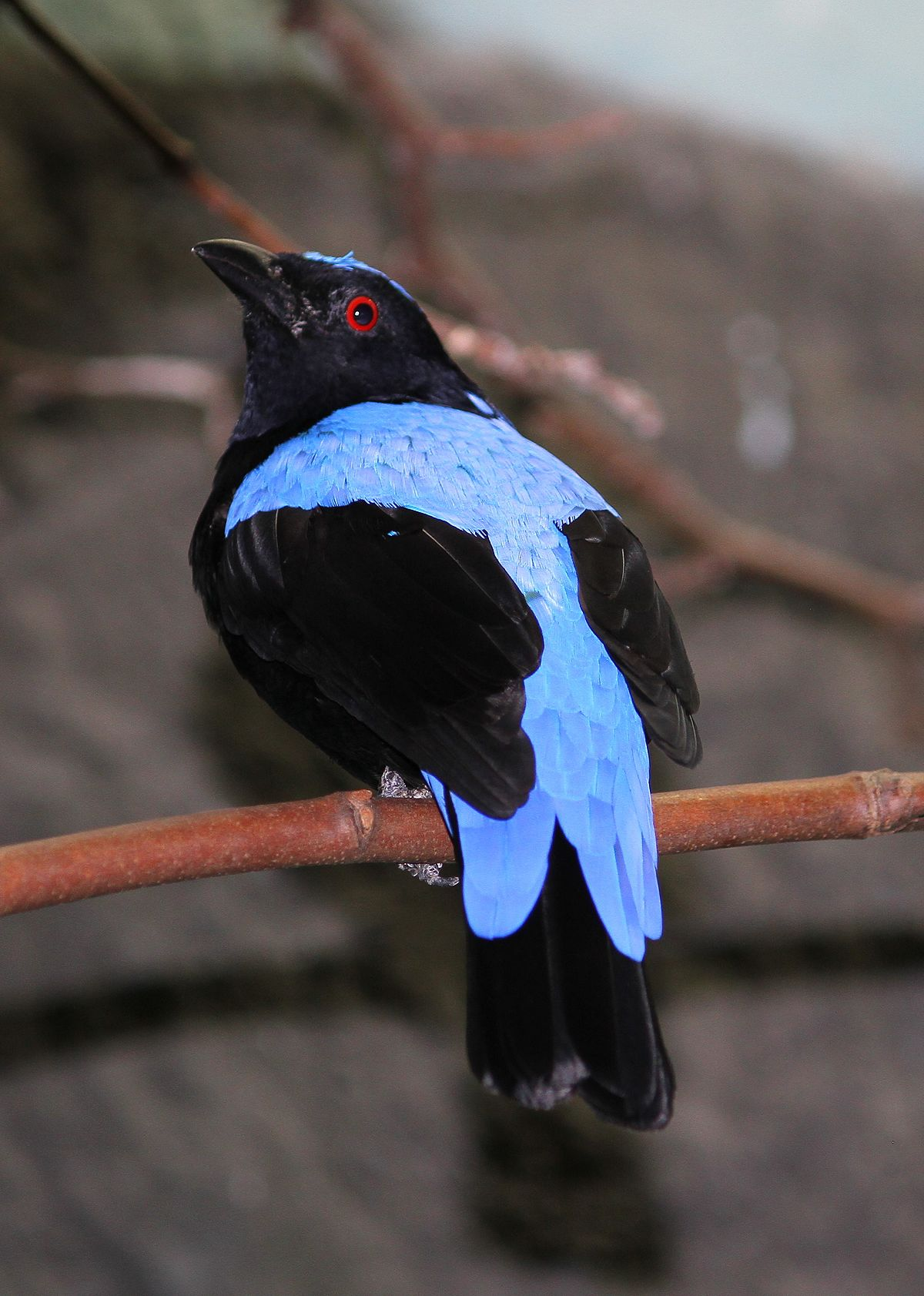 Fairy Bluebird Wikipedia