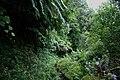 Fajã do Meio, caminhos, exuberância da vegetação das florestas da laurissilva, típica da Macaronésia e características das fajãs da ilha de São Jorge, Velas, Açores.JPG