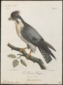 Falco minor - 1796-1808 - Print - Iconographia Zoologica - Special Collections University of Amsterdam - UBA01 IZ18200150.tif