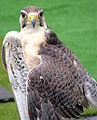 Falcon at London Bridge.jpg