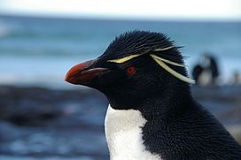 Falkland Islands Penguins 70.jpg