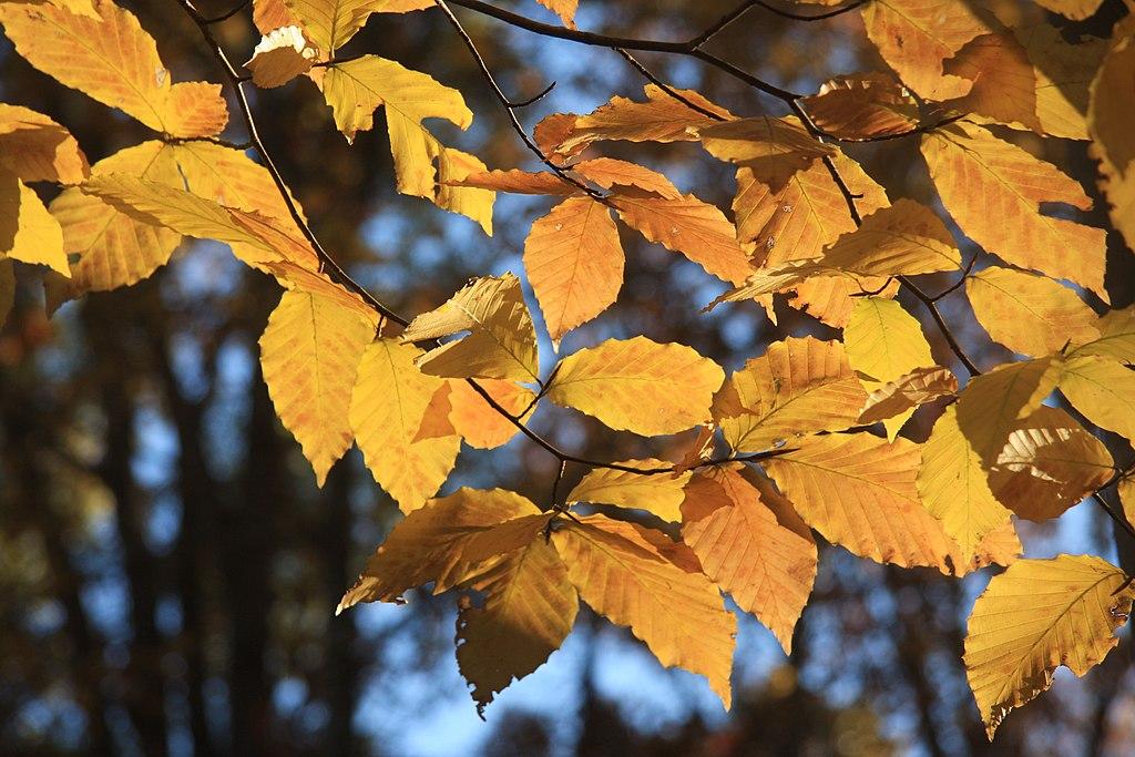 Fall beech leaves in sun