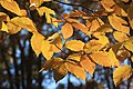 Fall beech leaves in sun.jpg
