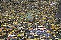Fallen leaves @ Mount Royal @ Ville-Marie @ Montreal (30298114452).jpg