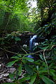 Falls-hills-creek-wv-rhododendron-flower - West Virginia - ForestWander.jpg
