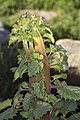 Fasciated California Bluebell (Phacelia campanularia).jpg