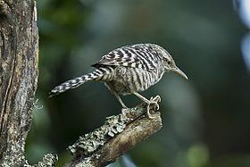 Fasciated Wren - South Ecuador S4E1692 (17142371156).jpg