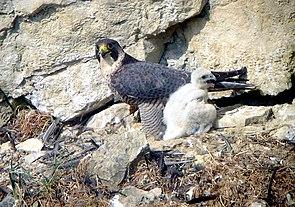 Wanderfalke (Falco peregrinus), Weibchen mit Nestling