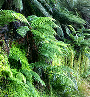 Tree ferns, probably Dicksonia antarctica, growing in Nunniong, Australia