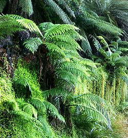 Dicksonia antarctica, a species of tree fern.