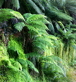 Tree ferns, probably Dicksonia antarctica, gro...