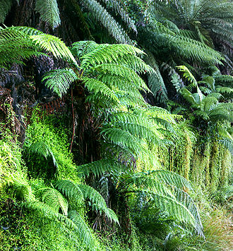 Fern - Tree ferns, probably Dicksonia antarctica, growing in Nunniong, Australia