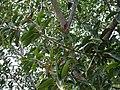Ficus 1.JPG