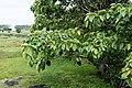 Ficus arnottiana 1968.jpg