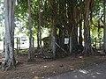 Ficus benghalensis-1-keerimalai-jaffna-Sri Lanka.jpg