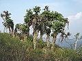 Ficus benghalensis-mathur-yercaud-salem-India.JPG