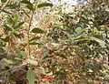Ficus hispida Tree Mumbra Mumbai 04-03-12 DSCF1020 (3).JPG