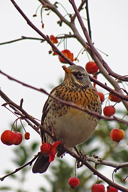 meaning of fieldfare