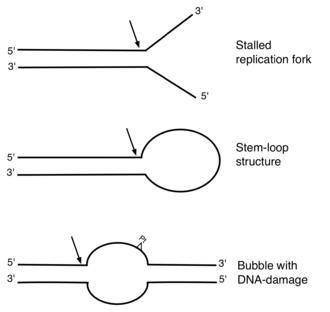 ERCC1 - DNA substrates of ERCC1-XPF nuclease