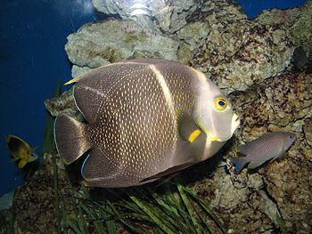 English: French angelfish, Pomacanthus paru at...