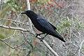 Fish Crow, Hunting Island, South Carolina 1.jpg
