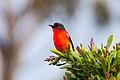 Flame Robin (Petroica phoenicea) (8079689246).jpg