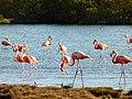 Flamengos at the mangroves (Bonaire 2014) (15545032018).jpg