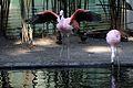 Flamingo-IMG 5570.JPG