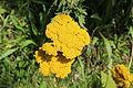 Fleur à Voisins-le-Bretonneux 2012 07.jpg