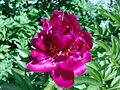 Fleur de pivoine à Grez-Doiceau 002.jpg
